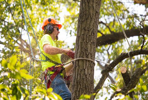 Picture of a crew in safety gear cutting down a large tree for a customer in Jacksonville, NC