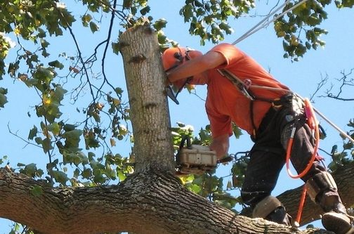 Picture fo crew trimming off dead branches on a large tree in Jacksonville, NC